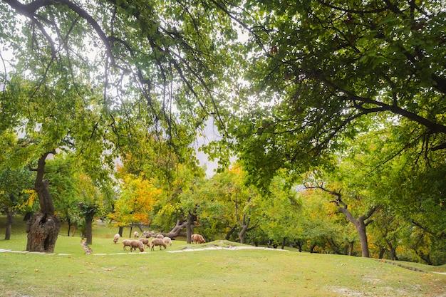 Zielony ogrodowy organicznie sad w lecie. gilgit baltistan, pakistan