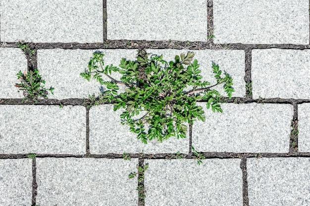 Zielony pęd rośliny przebija się przez szczelinę między płytami chodnikowymi widok z góry