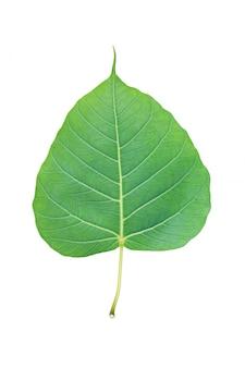 Zielony pho liść odizolowywający nad białym tłem.