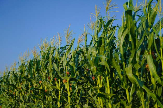 Zielony pole kukurydzy w indiach