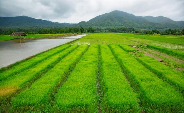 Zielony pole ryżowa roślina z wodą