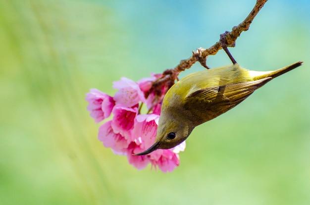 Zielony ptak niebieskie tło siedzący na kwiaty wiśni