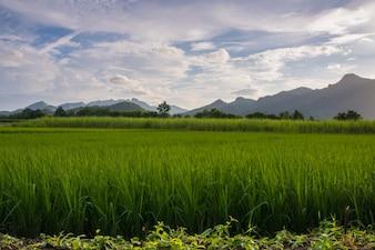 Zielony Rice pole z góry tłem pod niebieskim niebem, Tajlandia