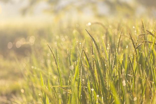 Zielony ryż i światło słoneczne rano