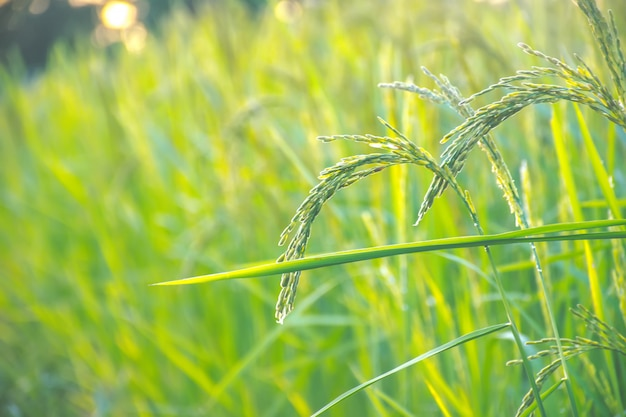 Zielony ryż na polach uprawnych. organiczne pole ryżowe.