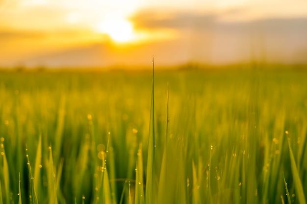 Zielony ryżowy fild z wieczór niebem
