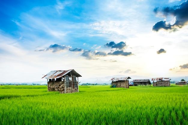 Zielony ryżowy pole z słomianym buda domostwem