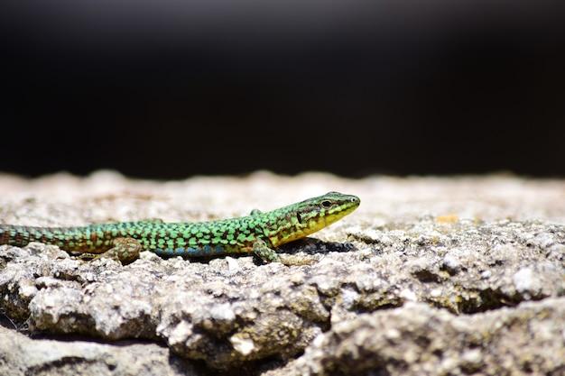 Zielony samiec jaszczurka maltańska, podarcis filfolensis maltensis, wygrzewający się na ścianie