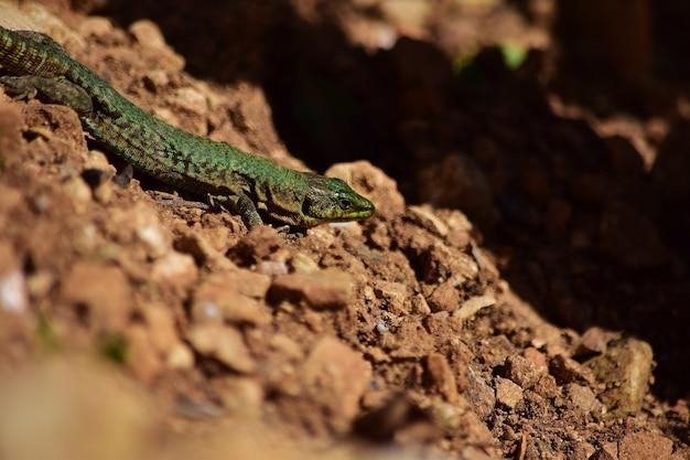Zielony samiec jaszczurki maltańskiej, podarcis filfolensis maltensis, pilnujący swojego gniazda.