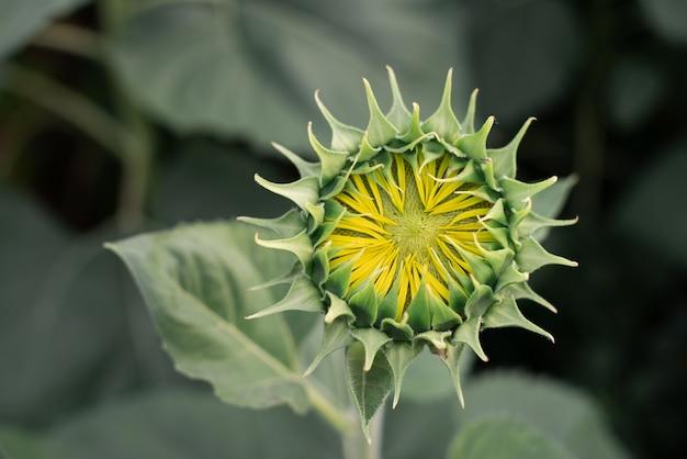 Zielony słonecznik