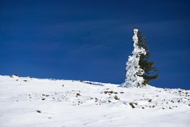 Zielony świerk, którego połowa pokryta jest śniegiem