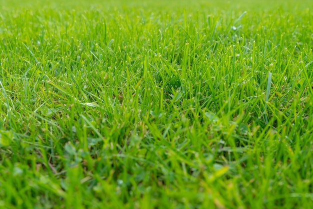 Zielony trawnik i prawdziwa zielona trawa na tle zielonej trawy murawy do projektowania z kopią miejsca