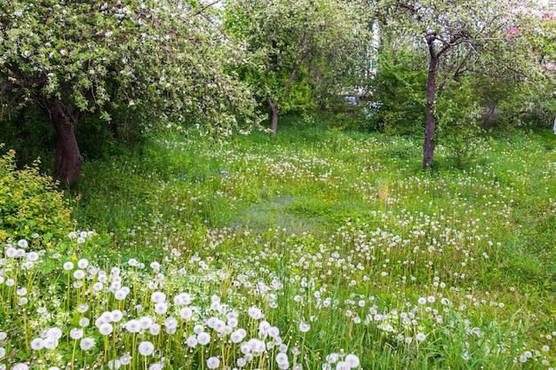 Zielony trawnik z kwitnącymi kwiatami mniszka lekarskiego w pogodny, słoneczny dzień. wiosna, początek lata. las, park publiczny. miękkie światło słoneczne, promienie słoneczne. przyroda, botanika, środowisko, ekologia, ekoturystyka, ogrodnictwo