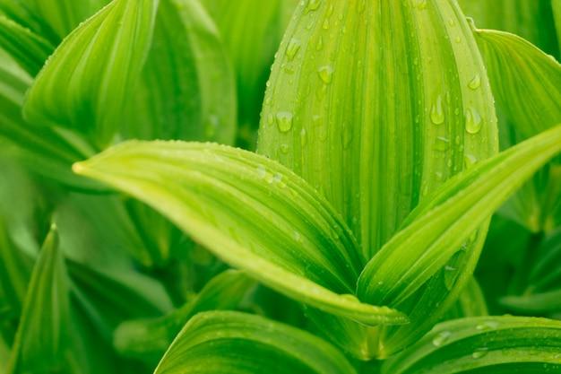 Zielony tropikalny liść z wodnymi kroplami.