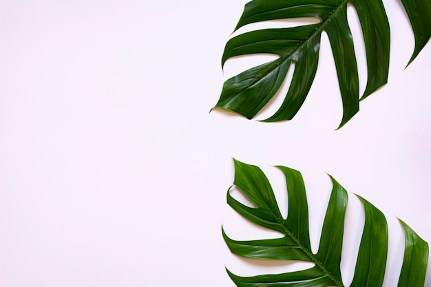 Zielony trzcina cukrowa urlop odizolowywający nad białym tłem z kopii przestrzenią.