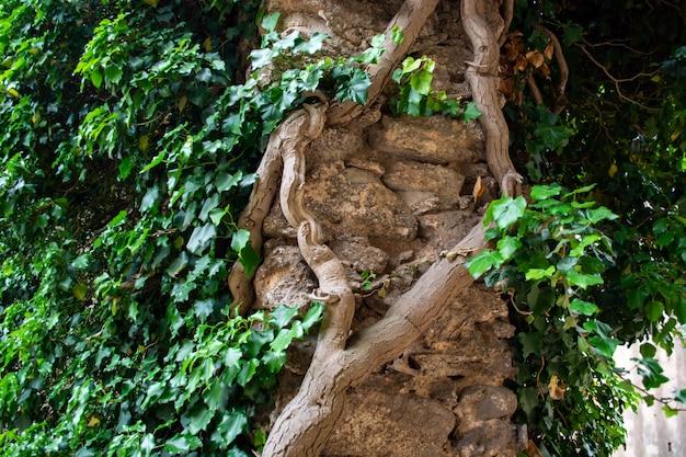 Zielony urlopu bluszcz zakrywał betonowej ściany tekstury tło.