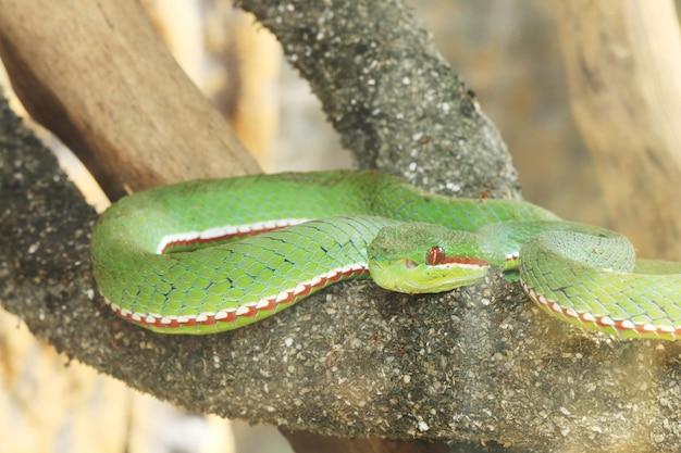 Zielony wąż na gałąź