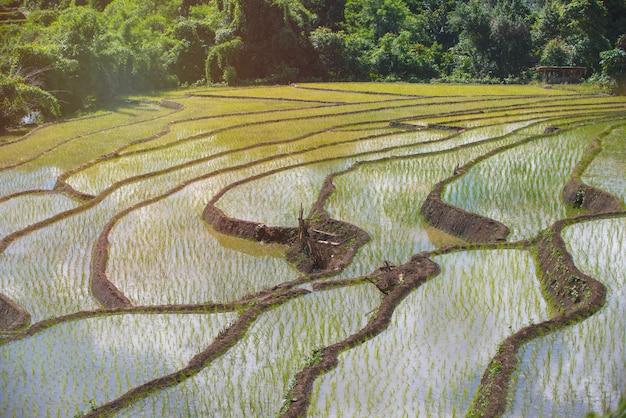 Zielony wiejski tarasowaty ryżu pole z wodą