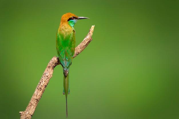 Zielony zjadacza ptak na gałąź