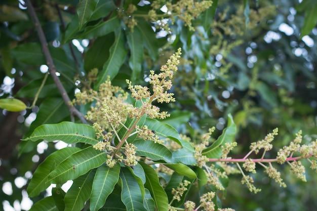 Zielony żółty mango kwitnie na drzewie