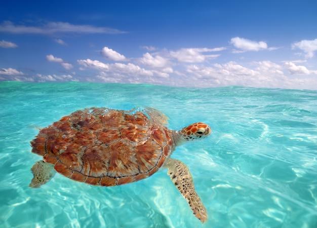 Zielony żółw morski chelonia mydas karaiby