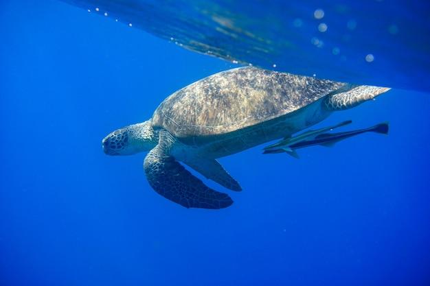 Zielony żółw morski lub chelonia mydas pływa w morzu