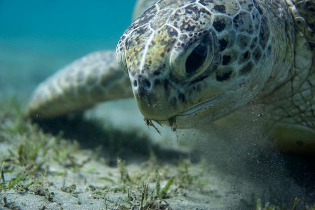 Zielony żółw morski na dnie morza