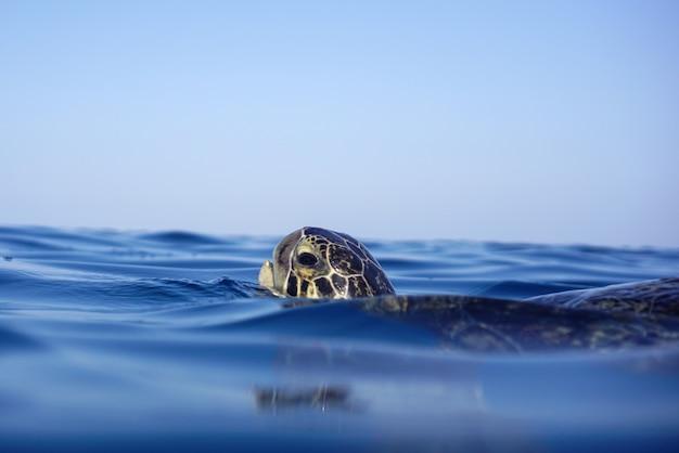 Zielony żółw morski wynurzył się, by oddychać powietrzem
