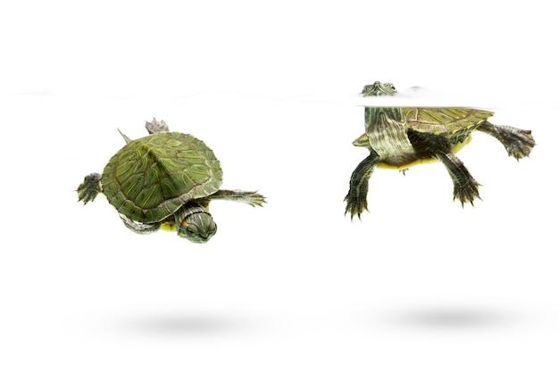 Zielony żółw pływający na białym tle