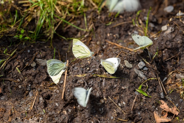 Zielony żyłkowany biały (pieris napi)