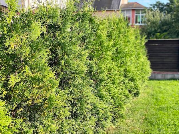 Zielony żywopłot drzew tui. drzewo wiecznie zielone