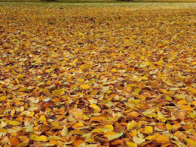 Ziemia liści topoli jesienią