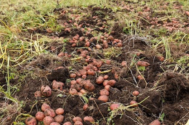 Ziemniaki na polu
