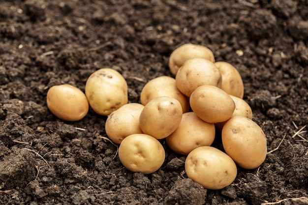 Ziemniaki na ziemi