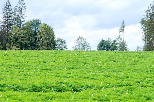 Ziemniaki sadzi się w rzędach na polu