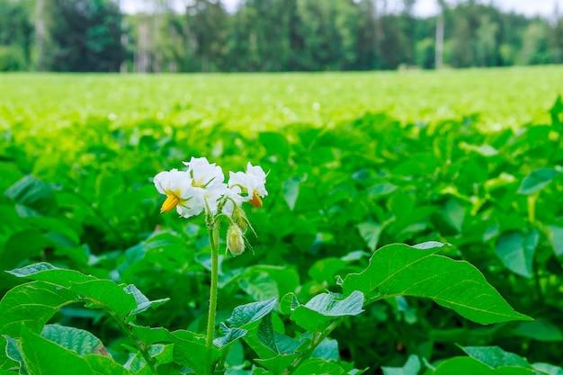 Ziemniaki sadzi się w rzędach na polu.