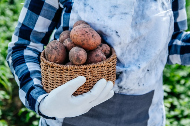 Ziemniaki w wiklinowym koszu w rękach kobiety rolnika na tle zielonych liści.