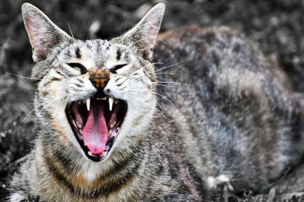 Ziewający pręgowany kot otwiera pysk