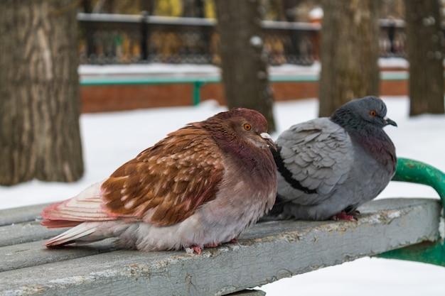 Zimą dwa gołębie w różnych kolorach siedzą na szarej ławce