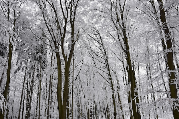 Zima krajobraz - mroźni drzewa w lesie. przyroda pokryta śniegiem. piękne sezonowe naturalne
