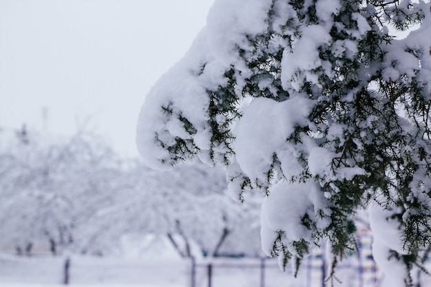Zima kreatywny obraz tła. gałąź jałowca gęsto pokryta czapami śniegu