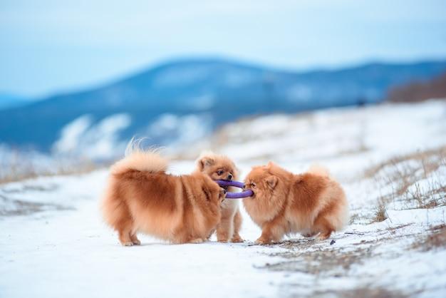 Zimą na górze bawią się dwa psy czerwonego koloru rasy szpic.