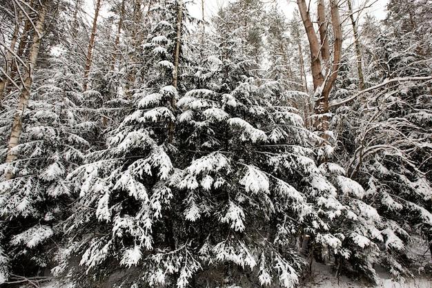 Zimą pokryte śniegiem mieszane drzewa iglaste i liściaste