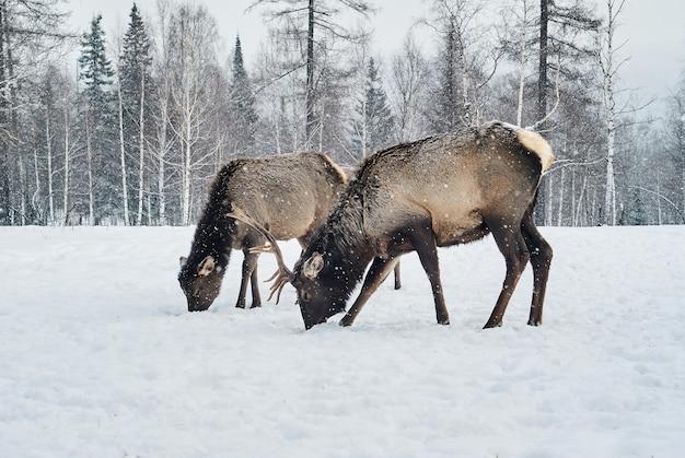 Zimą w lesie na polanie pasą się dwa jelenie maral