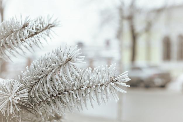 Zima w mieście, świerkowa gałąź w szronowym zbliżeniu, zamazany miasto