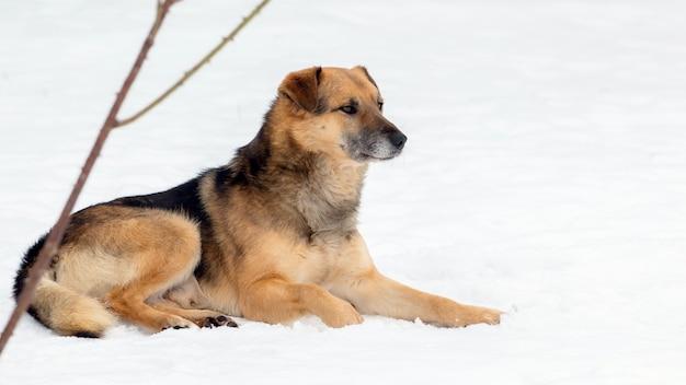 Zimą w śniegu leży duży brązowy pies
