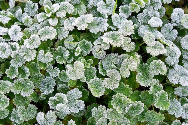 Zima w tle przyrody. zielone liście pokryte białym szronem i formacją kryształków lodu