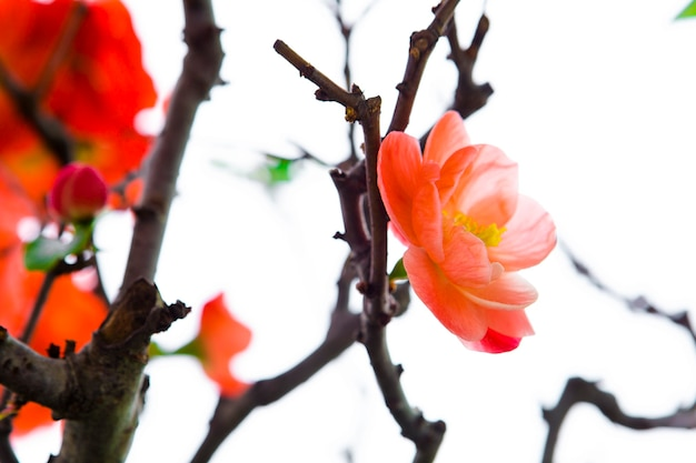 Zima, wczesna wiosna, róż, śliwka długowieczności, śliwka