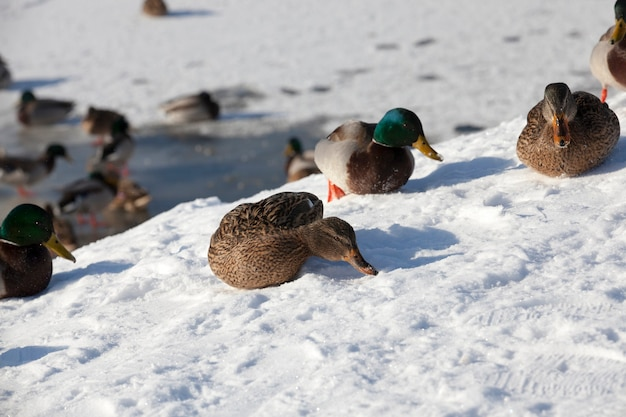 Zimna pora roku z mrozami i śniegiem, kaczki siedzą na śniegu, duże stado kaczek, które zostało na zimę w europie
