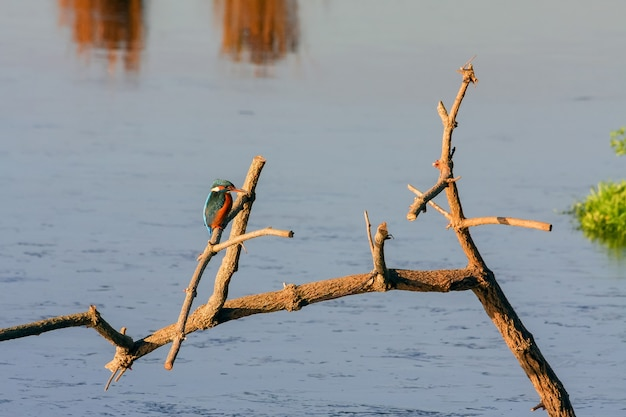 Zimorodek (alcedo atthis) w rainham marshes